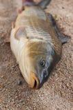Fisk i sanden, karp, Arkivbild