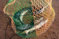 Fisk i spisgallret Arkivfoton