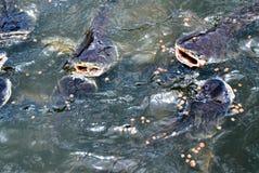 Fisk i vattenfall Royaltyfria Foton
