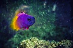 Fisk kungliga Gramma Basslet arkivbilder
