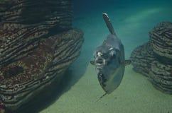 fisk nära att simma för rocks Arkivbilder