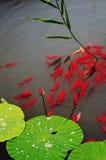 Fisk och blad av lotusblomma Fotografering för Bildbyråer
