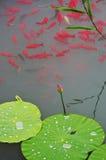 Fisk och blad av lotusblomma Arkivbild