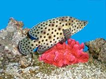 Fisk och en korall Arkivfoto
