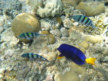 Fisk och koraller Royaltyfri Fotografi