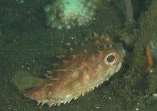 Fisk - Orbicular burrfish Royaltyfri Foto