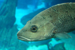 Fisk på akvariet Royaltyfri Foto