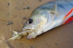 fisk på en krok royaltyfria bilder