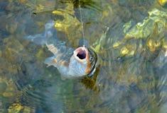 Fisk på krok 16 fotografering för bildbyråer