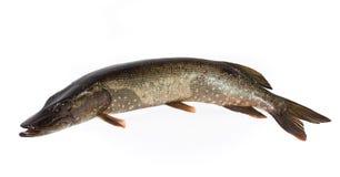 Fisk på vit bakgrund arkivbild