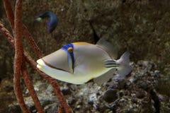 Fisk Picasso. Royaltyfri Fotografi