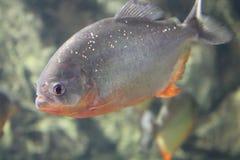 Fisk Röd-buktad piranha royaltyfri bild