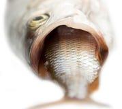 Fisk som äter andra fisk Royaltyfria Foton