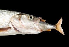 Fisk som äter andra fisk Royaltyfria Bilder