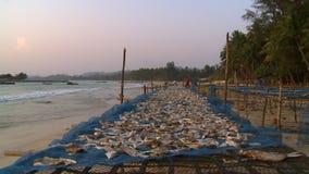 Fisk som torkar på ställningar på den Ngapali stranden, Myanmar stock video