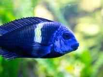 Fisk till och med exponeringsglaset av akvariet Royaltyfri Bild
