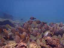 fisk tropiska hawaii Arkivbilder