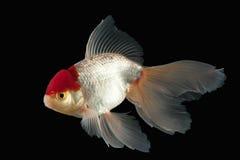 Fisk Vit Oranda guldfisk med det röda huvudet på svart bakgrund Royaltyfri Bild