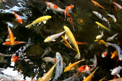fiska damm Royaltyfria Bilder