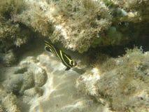Fiska den barnsliga fransmannen för ängeln i det karibiska havet arkivfoton