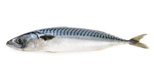 fiska den isolerade mackerelen Royaltyfri Bild