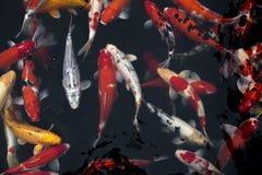 fiska den japanska koien Fotografering för Bildbyråer