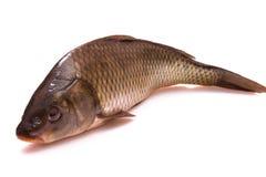 Fiska en carp royaltyfria bilder