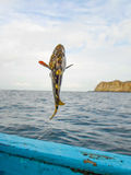 Fiska en Mero havsaborre Arkivfoton