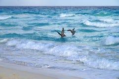 Fiska för pelikan Royaltyfri Foto