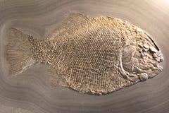 Fiska fossil Royaltyfri Fotografi