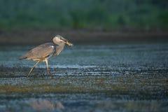 fiska grå heron Royaltyfri Foto