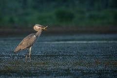 fiska grå heron Arkivfoto