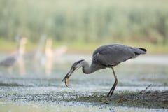 fiska grå heron Royaltyfri Fotografi