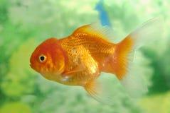 fiska guld Royaltyfri Fotografi
