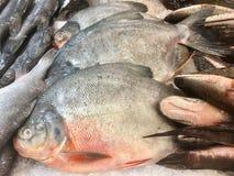 Fiska karpen, den stora fisken, fiskbakgrund, Ubonratchathani, Thailand Royaltyfri Foto