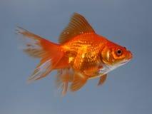 fiska liten guld Arkivbilder