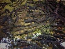 fiska många Fotografering för Bildbyråer