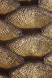 Fiska scales Royaltyfri Bild