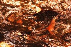 fiska simning Royaltyfri Bild