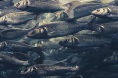 Fiska svärmen, många fiskar som simmar i en riktning arkivfoton
