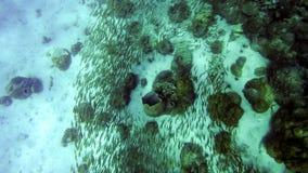 Fiska svärmsimning runt om koraller i det asiatiska havet royaltyfria bilder