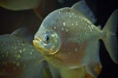 fiska tropiskt Arkivfoto