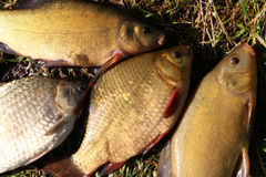 fiskar Royaltyfria Bilder