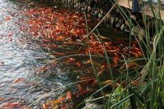 fiskar damm arkivbilder