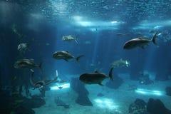 fiskar den lisbon oceanariumen Royaltyfri Foto