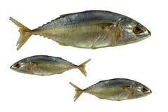 fiskar den nya mackerelen Royaltyfri Fotografi