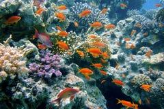 fiskar det guld- röda havet Royaltyfri Fotografi