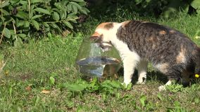 Fiskar det upprivna akvariet för den trevliga katten och röd rudd för lås med jordluckraren och körning bort closeup 4K stock video