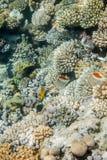 Fiskar för Röda havetkorallrev Arkivfoto