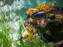 Fiskar i akvarium Arkivfoto